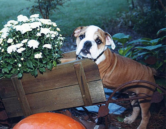 A brown and white bulldog puppy perched on a wooden wagon with flowers.