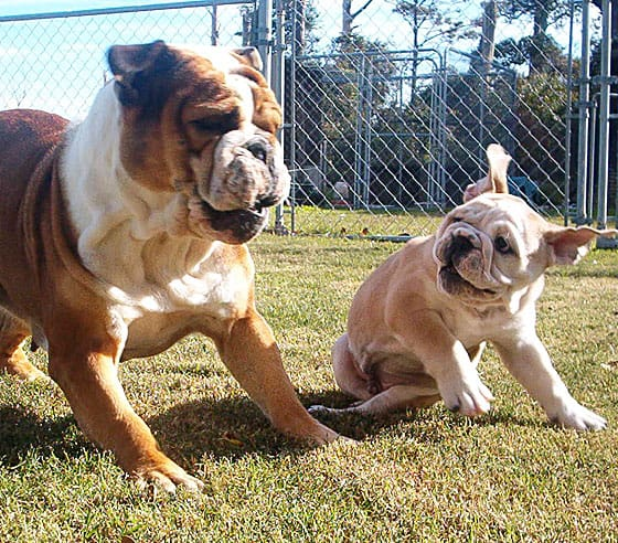An adult bulldog and a bulldog puppy playing on the grass outside.