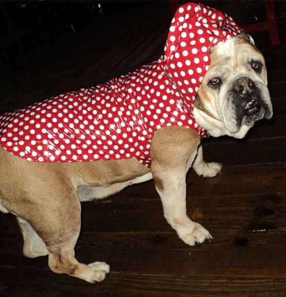 A brown and white bulldog wearing a red and white polka dot rain coat.