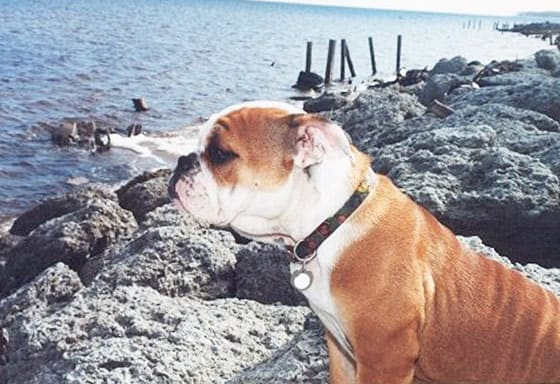 A brown and white bulldog standing on large rocks looking at the water.