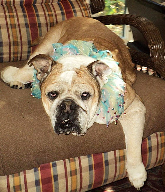 A brown and white bulldog wearing an ornate collar laying in a chair.