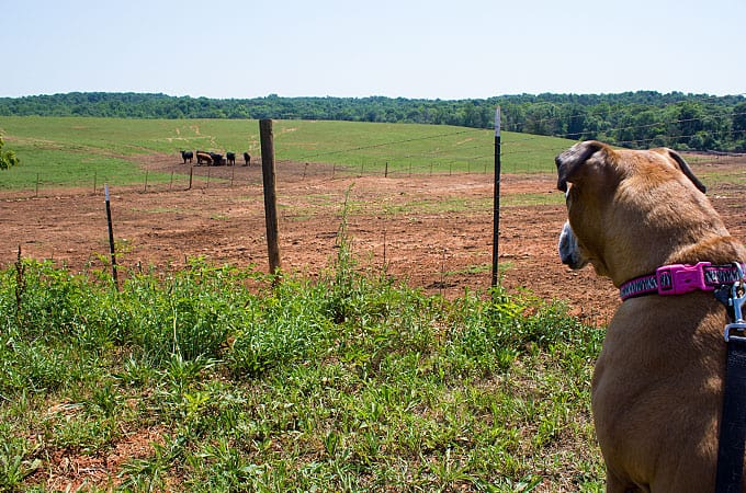 Baby looking at cows in GA