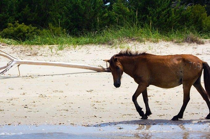 Shackleford Banks Pony