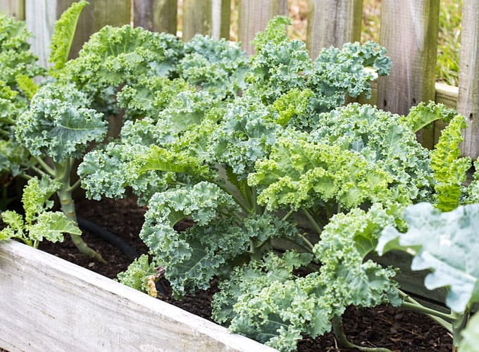 Fresh kale in a raised bed garden.